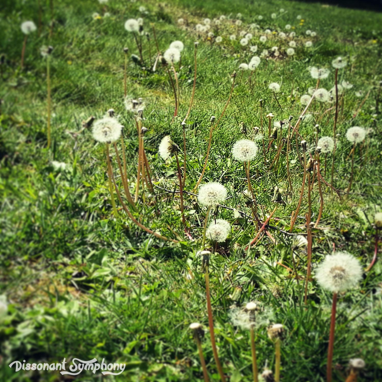 Delighting in Dandelions