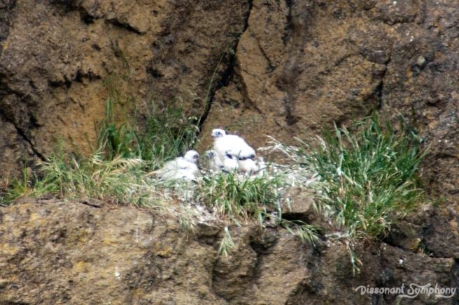 Peregrine Falcon Babies